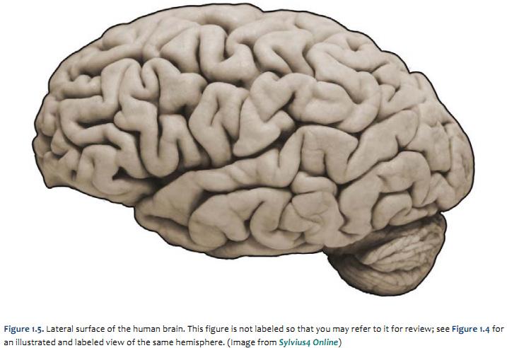 Anatomy label brain quiz Brain Label