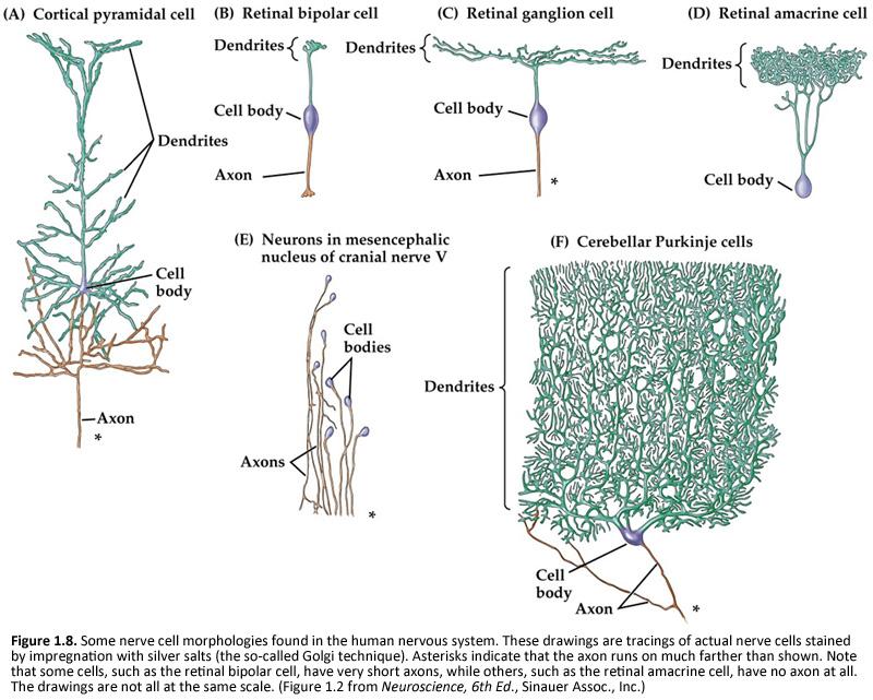 Human Neurophysiology