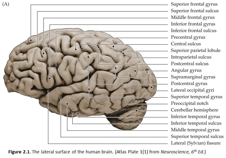 Duke Neurosciences - Lab 1: Surface Anatomy of the Brain